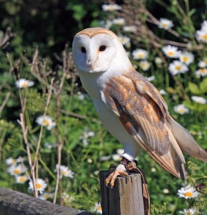 Barn Owl. My Hogwart's pet
