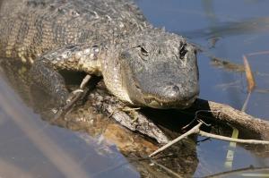 alligator-848337_640
