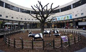 Jaye Nolan Milton Keynes Cows